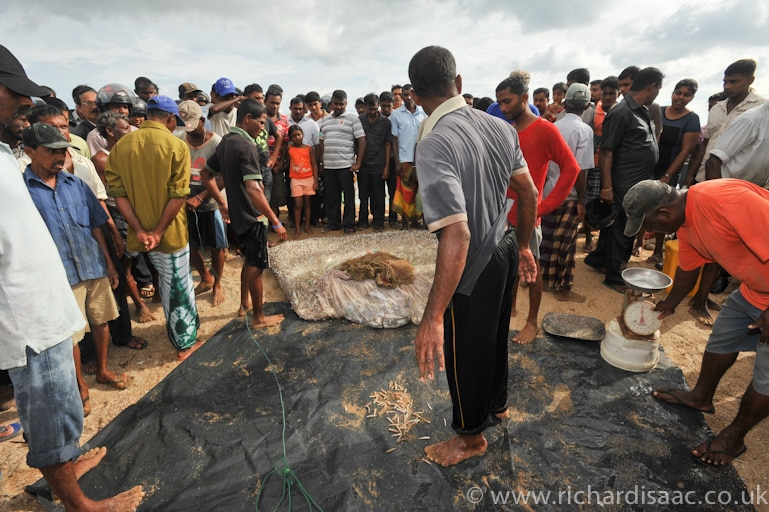 Fishermen lay their haul onto a waiting tarpaulin - Galle, Sri Lanka