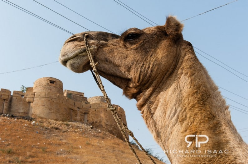 A camel poses for its portrait, before Jaisalmer fort in Rajasthan, India