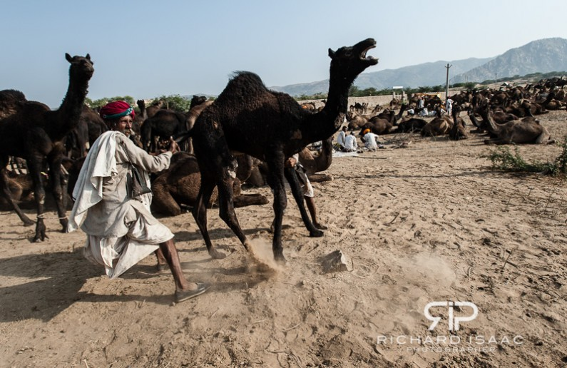 Herders restrain an irate camel at the Pushkar Camel Fair, India - 21/11/12