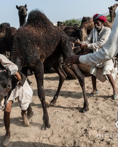Camel traders struggle with an irate camel at the Camel traders & their camels at the Pushkar Camel Fair - Rajasthan, India