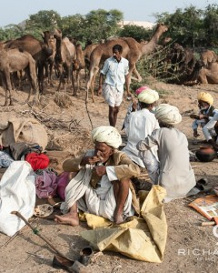 Camel traders & their camels at the Pushkar Camel Fair - Rajasthan, India