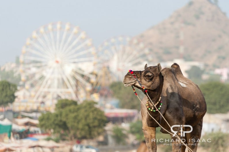 Pushkar Camel Fair, India - 21/11/12