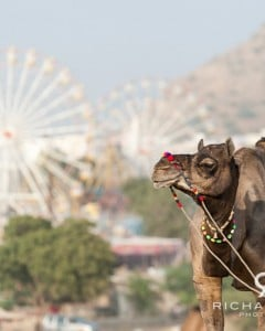 Pushkar Camel Fair - Rajasthan, India