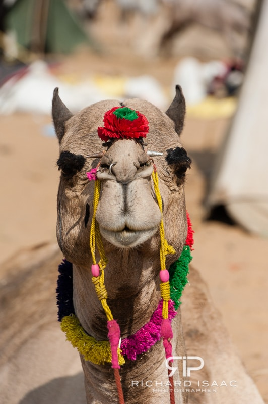 Well hello, sweetie!  A camel decorated with colourful paints and flowers for sale at the Pushkar Fair, India