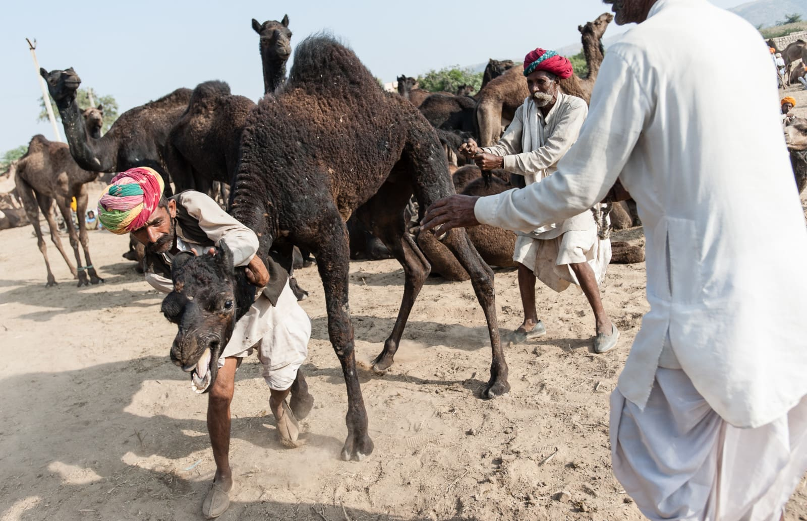 camel-pushkar-camel-fair-london-freelance-photographer-richard-isaac-3200